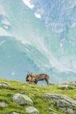 Två alpina getter som slåss, montering Bianco, fjällängar, Italien Royaltyfri Fotografi