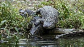 Två amerikanska alligatorer på banken Arkivfoton