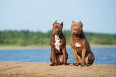 Två amerikanska gropbull terrier hundkapplöpning som poserar på stranden Royaltyfri Foto