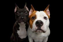 Två amerikanska Staffordshire Terrier hundkapplöpning som isoleras på svart bakgrund Royaltyfri Bild