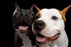 Två amerikanska Staffordshire Terrier hundkapplöpning som isoleras på svart bakgrund Royaltyfri Foto
