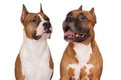 Två amerikanska staffordshire terrierhundkapplöpning på vit Arkivfoto