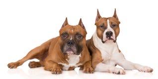 Två amerikanska staffordshire terrierhundkapplöpning på vit Royaltyfria Bilder
