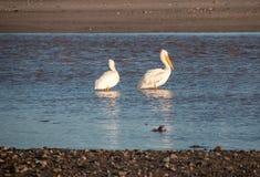 Två amerikanska vita pelikan i Santaet Clara River på den McGrath delstatsparken på Stillahavskusten på Ventura California United royaltyfri fotografi