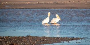 Två amerikanska vita pelikan i Santaet Clara River på den McGrath delstatsparken på Stillahavskusten på Ventura California USA arkivfoto