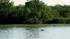 Två amerikanska vita pelikan simmar förbi näckrors på Minnesota sjön arkivfilmer