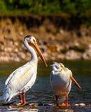 Två amerikanska vita pelikan som vadar i Snake River Arkivbild