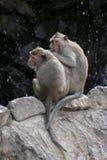 Två apor Arkivbild