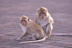 Två apor av Mauritius royaltyfria foton