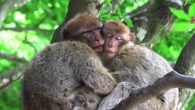Två apor som kramar sova på ett träd lager videofilmer