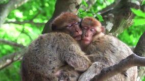 Två apor som kramar sova på ett träd stock video