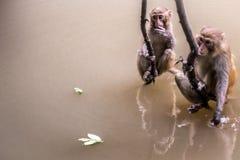 Två apor som ut hänger Fotografering för Bildbyråer