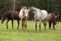 Två appaloosas tillsammans, med andra hästar i bakgrund royaltyfri bild