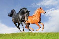 Två arabiska hästar Fotografering för Bildbyråer