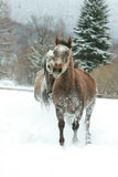 Två arabiska hästar som tillsammans kör i snön Arkivbilder