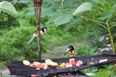 Två Aracari tukan Fotografering för Bildbyråer