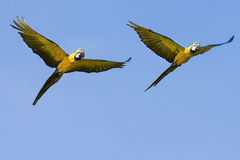 Två arapapegojor i flykten Arkivfoto