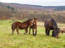 Två Ardennes föl och en sto i en belgisk äng royaltyfria bilder