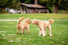Två arga blandninghundkapplöpning för pudel i en parkera som hälsar sig arkivfoto