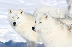 Två arktiskwolves Fotografering för Bildbyråer