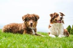 Två australiska herdar ligger på gräset royaltyfria foton