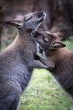 Två australiska kängurur som ansar sig fotografering för bildbyråer