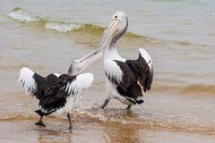 Två australiska pelikan som slåss för fisk Arkivbilder