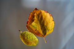 Två Autumn Leaves On Blurred Background royaltyfri foto