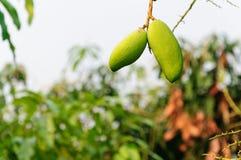 Två av mango i fruktträdgård Royaltyfria Bilder