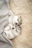 Två av siberian skrovligt sova för valpar Arkivbilder