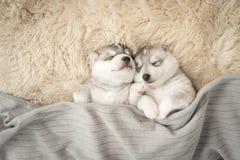 Två av siberian skrovligt sova för valpar Royaltyfria Bilder