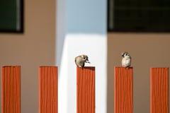 Två av trädsparven som sätta sig på ett staket Arkivfoton
