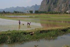 Två bönder arbetar i en risfält (Vietnam) Arkivfoto