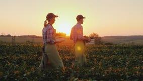 Två bönder man och kvinna promenerar fältet som bär boxas med nya grönsaker Organiskt lantbruk och familj royaltyfria foton