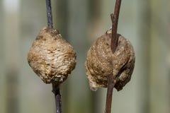 Två bönsyrsareden på olikt kulört ris Royaltyfri Foto