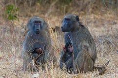Två babianer med spädbarn Fotografering för Bildbyråer