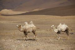 Två Bactrian kamel Arkivfoton