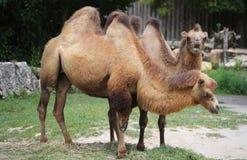 två Bactrian kamel med brunt hår, medan äta Royaltyfria Bilder