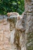 Två Barbary apor på ett berg fotografering för bildbyråer