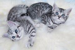 Två barn svärtar att ligga för silverstrimmig kattkatter som är lat tillsammans på får f Royaltyfria Bilder