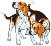 Två beaglehundar Fotografering för Bildbyråer