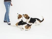 Två beaglehundkapplöpning som ligger på flickas fot Royaltyfria Bilder