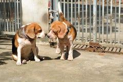 Två beaglen är att älska som är amatory royaltyfria bilder