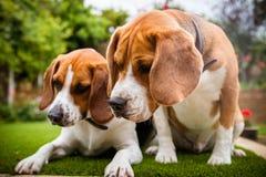 två beaglen som har gyckel som spelar i trädgården royaltyfri foto
