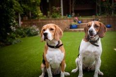 två beaglen som har gyckel som spelar i trädgården Royaltyfri Fotografi