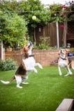 två beaglen som har gyckel som spelar i trädgården som spelar med en tenn royaltyfri fotografi