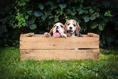 Två beaglevalpar royaltyfria foton