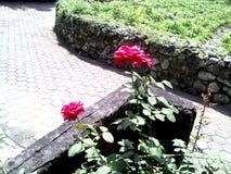 Två beautyful rosor Royaltyfria Bilder