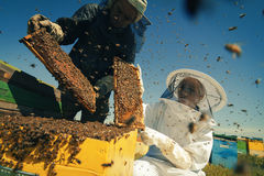 Två beekeepers som kontrollerar honungskakan av en bikupa Arkivfoto