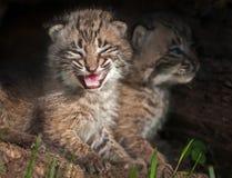 Två behandla som ett barn Bobcat Kits (lodjurrufus) i journal Fotografering för Bildbyråer